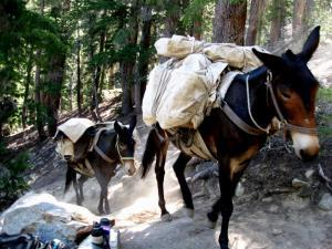 A pair of pack mules hiking up a mountain.